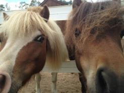 Cupcake and Tucker, mini horse glamour shots.