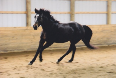 Annie cantering in the indoor at Sandpiper.